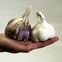 Garlic Bulbs - Twin Pack Champion White and Purple