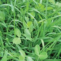 Green Manure Seeds Biofumigant Mustard Caliente