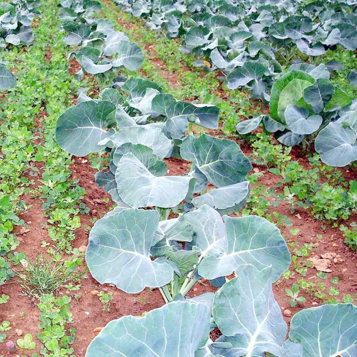 Green Manure Seeds - Intercrop/Undersow Mix
