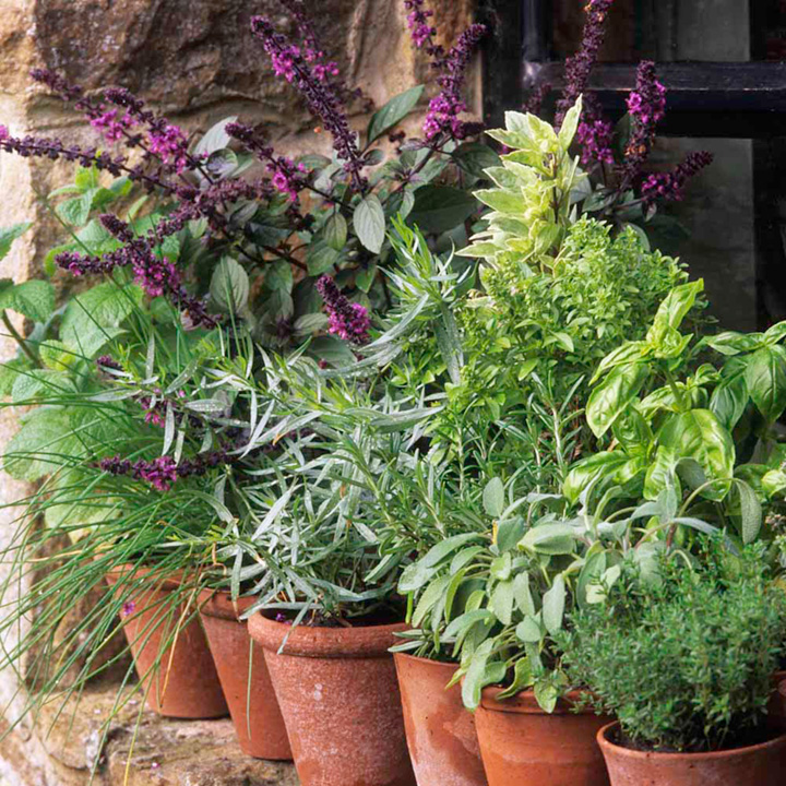 Herb Plants - Lucky Dip Collection
