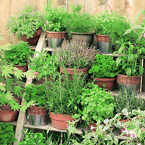 Herb Plant Collection + Recipe & Seeds