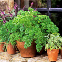 Parsley Plants - Moss Curled 2