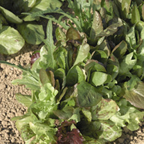 Leaf Salad Seeds - Lettuce Mixture
