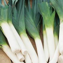 Leek Plants - F1 Below Zero