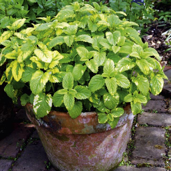 Herb Plant - Lemon Balm