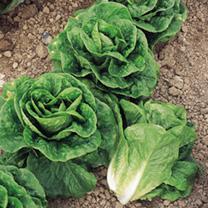 Lettuce Plants - Winter Density