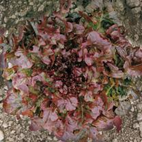 Lettuce Seeds - Granada