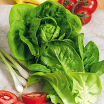 Lettuce Plants - Little Gem
