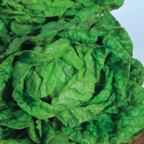 Lettuce All-The-Year-Round Seeds