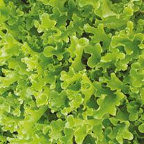 Lettuce Ashbrook Seeds