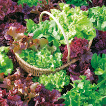 Lettuce Mixture Seeds