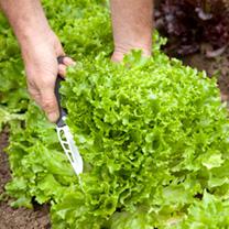 Lettuce Seeds - Multigreen 3