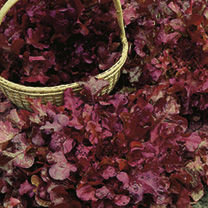 Lettuce Delicato Seeds