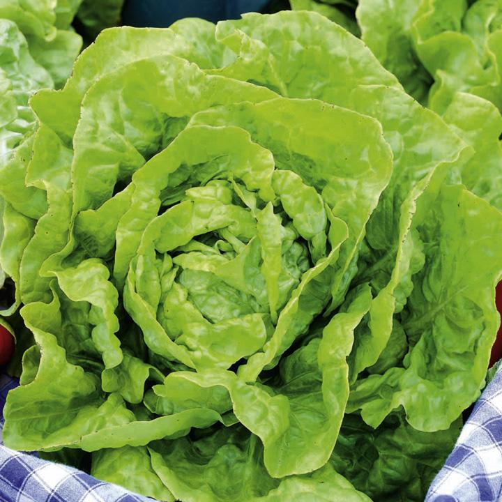 Lettuce Seeds - Diana