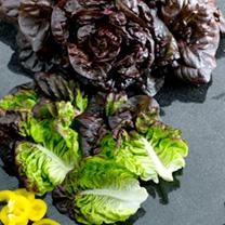 Lettuce Seeds - Red Little Gem Amaze