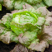 Lettuce Seeds - Red Iceberg