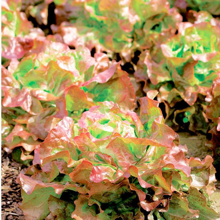 Lettuce Seeds - Edox