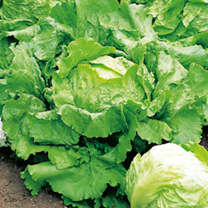 Lettuce Seeds - Webb's Wonderful