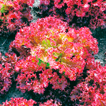 Lettuce Seeds - Lollo Rossa