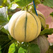 Melon Seeds - Lunabel F1