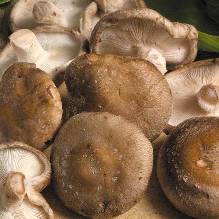 Mushroom Shiitake Spawn Plugs