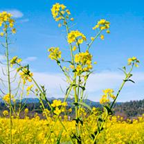 Mustard Seeds - White