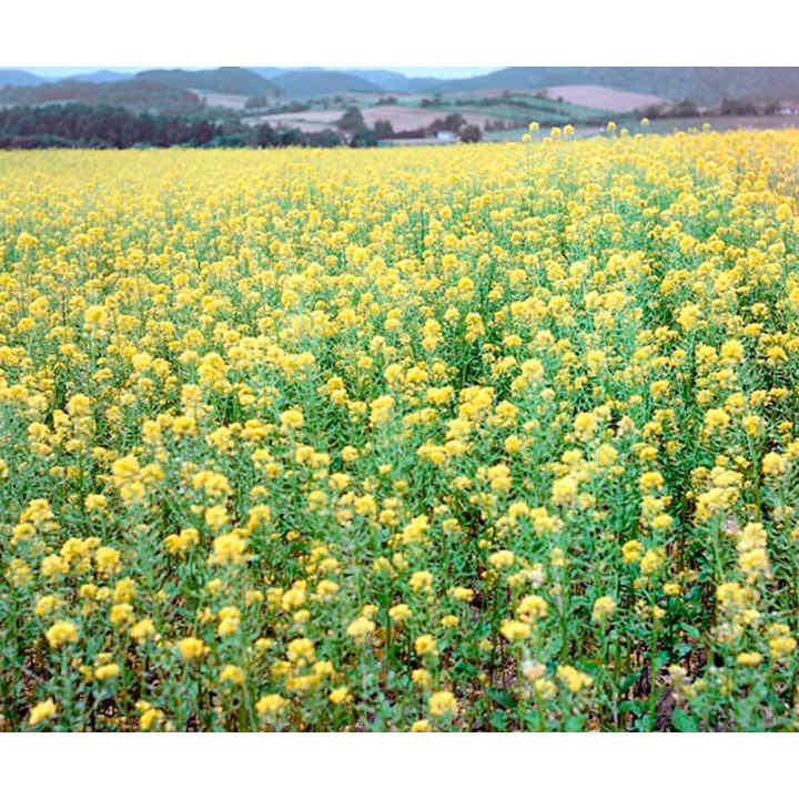 Green Manure Seed - Mustard White