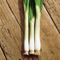 Onion Ramrod - ORGANIC SEEDS