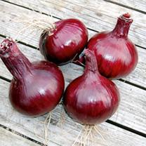 Onion Karmen Seeds