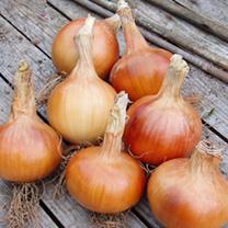 Onion Sets - F1 Santero
