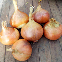 Onion Seeds - Hiberna
