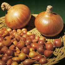 Onion Sets - Sturon