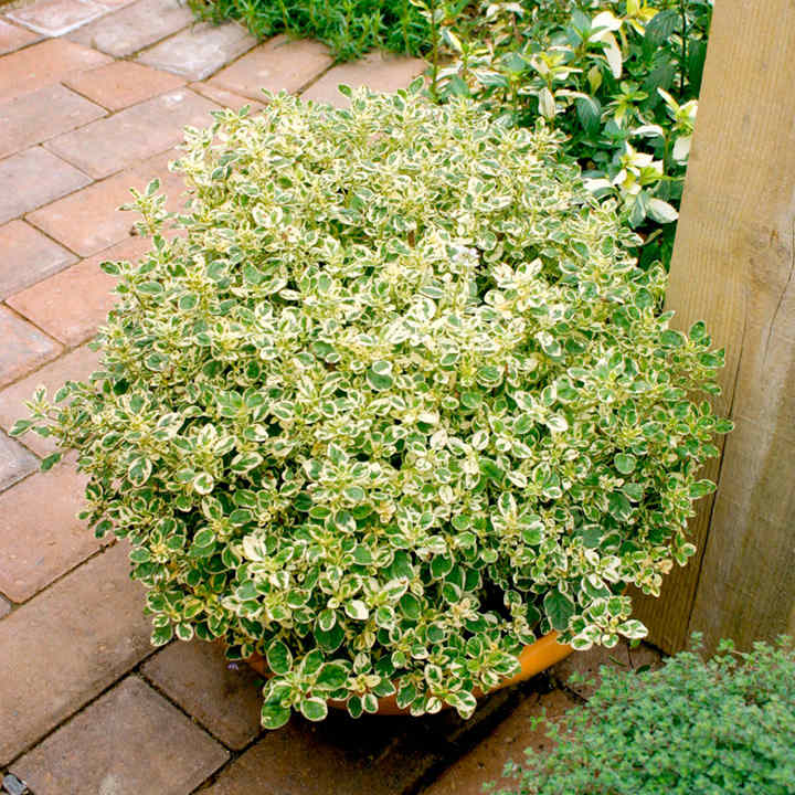 Herb Plant - Oregano Country Cream