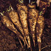 Parsnip Seeds - Tender and True - Triple Pack