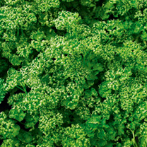 Parsley Paravert Seeds