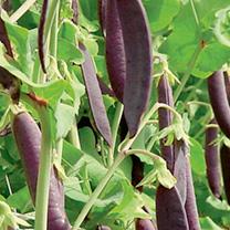 Pea Mangetout Plants - Multicoloured Collection