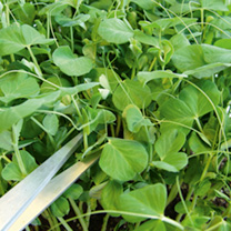 Pea Shoots Seeds - Twinkle