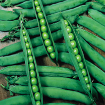 Pea Plants - Hurst Greencrop
