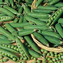 Pea Onward Seeds