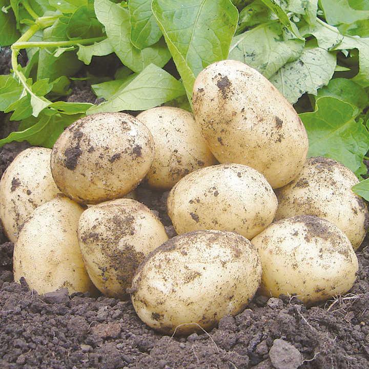 Allotment Potato Collection