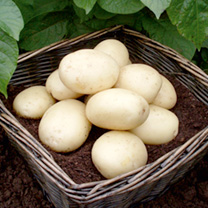 Seed Potatoes - Casablanca 1kg (Second Crop)