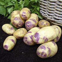 Village Show Potato Collection