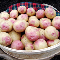 Seed Potatoes - Bonnie 1kg