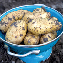 Seed Potatoes - Gourmet Patio Growing Kit