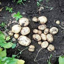 Seed Potatoes - Kingsman