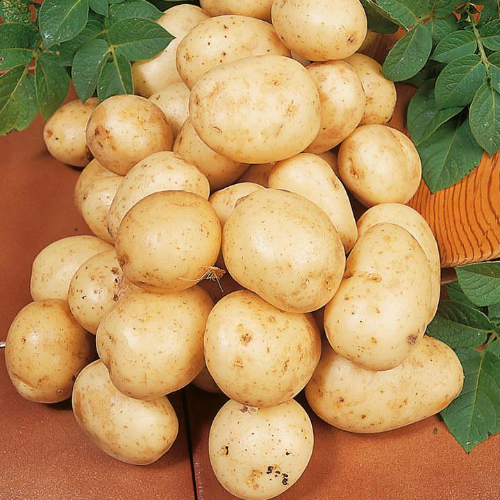 Seed Potatoes - Carlingford 1kg