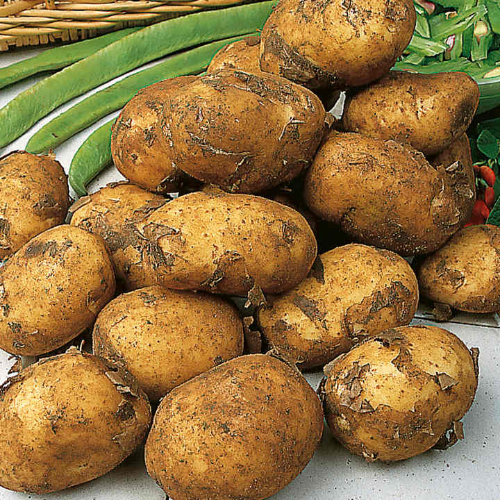 Seed Potatoes - Maris Peer Yellow
