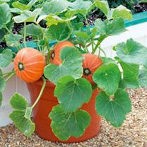 Pumpkin Plants - F1 Windsor