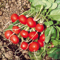 Radish Rougette Seeds