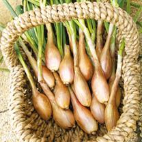 dobies garlic onions shallots